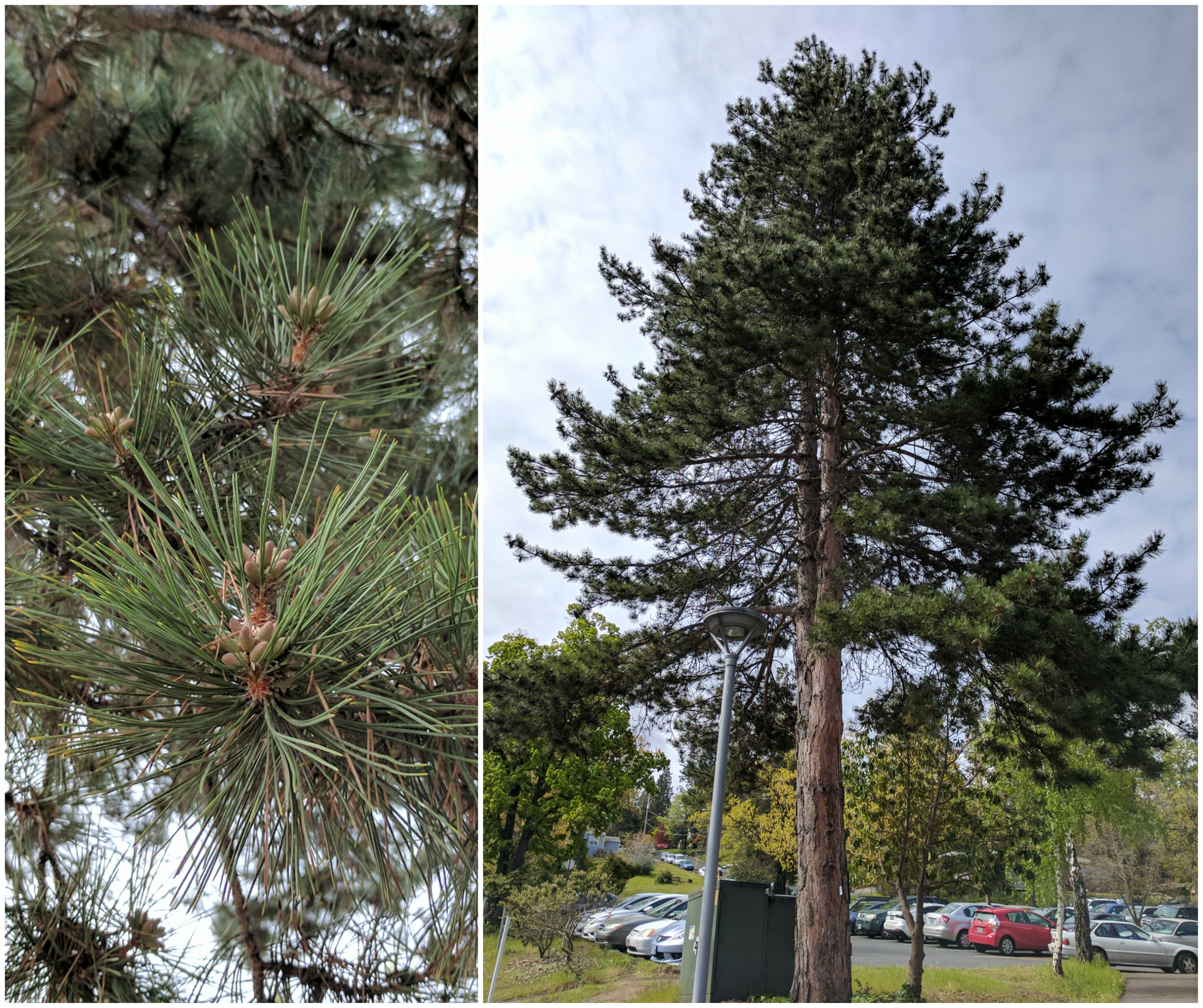 Scots Pine Collage