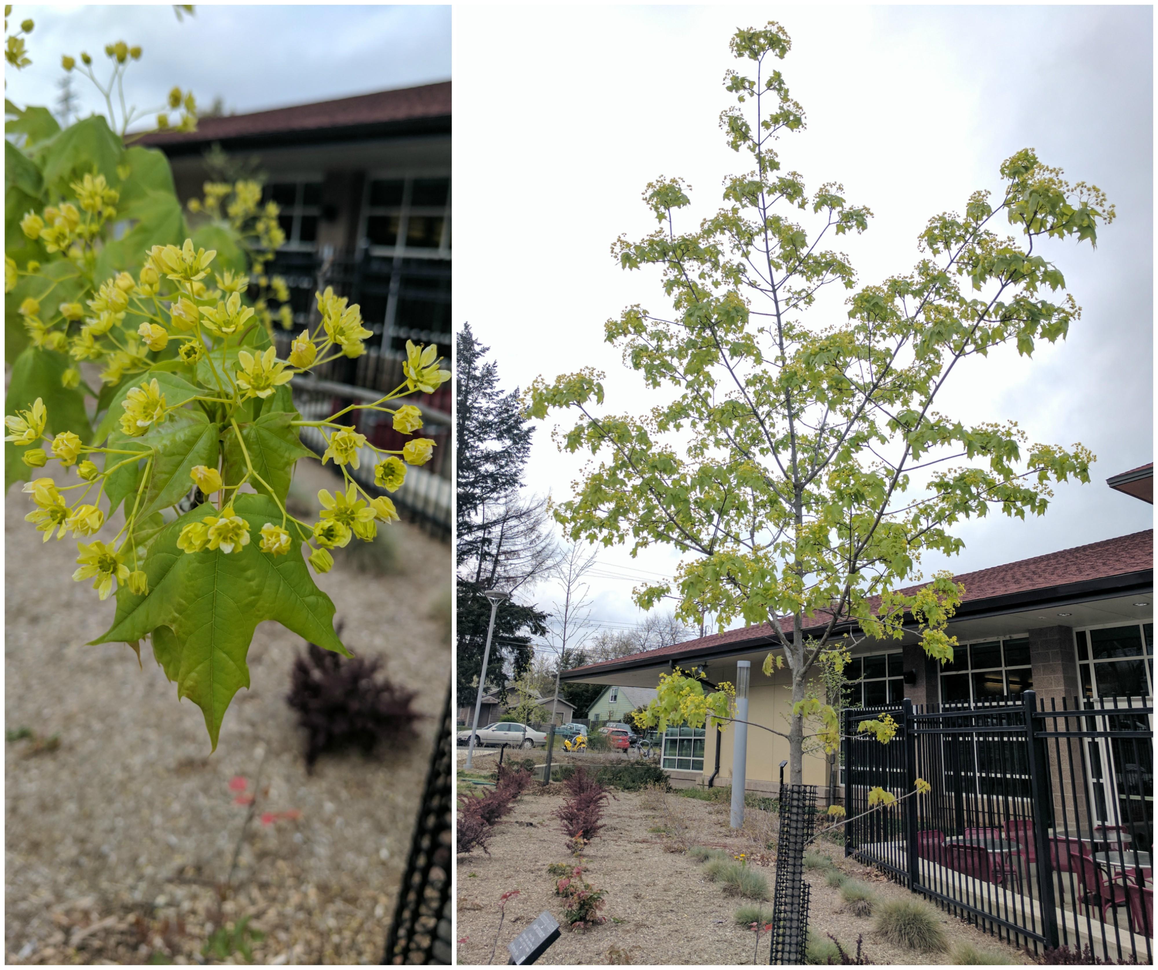 Shantung Maple Collage