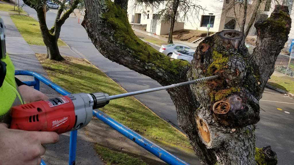 Habitat Snag Trees Article at SOU Cutting Off Unsafe Tops of Trees