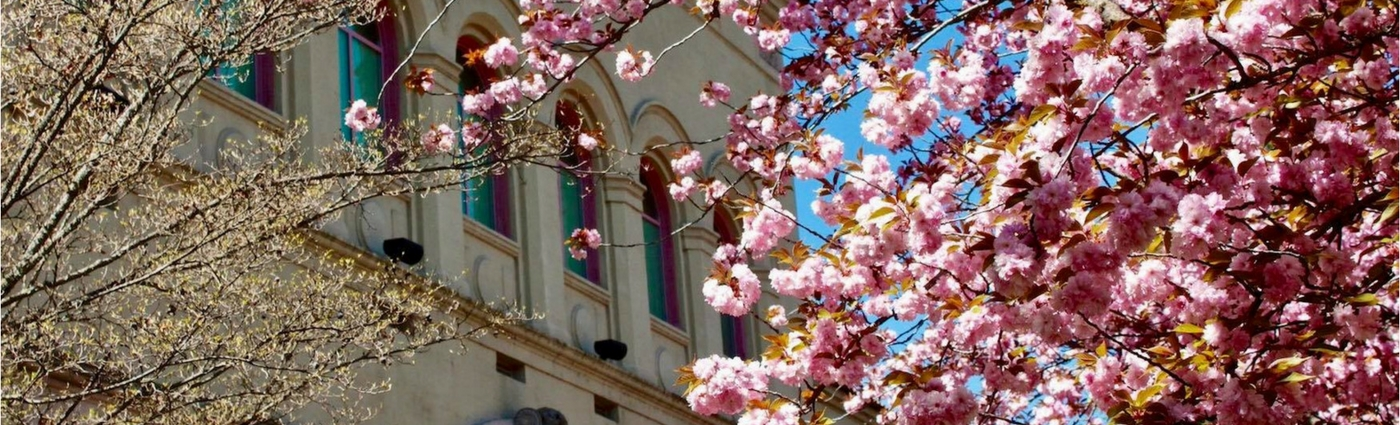 Photo of cherry blossoms with Churchill Hall in the background.